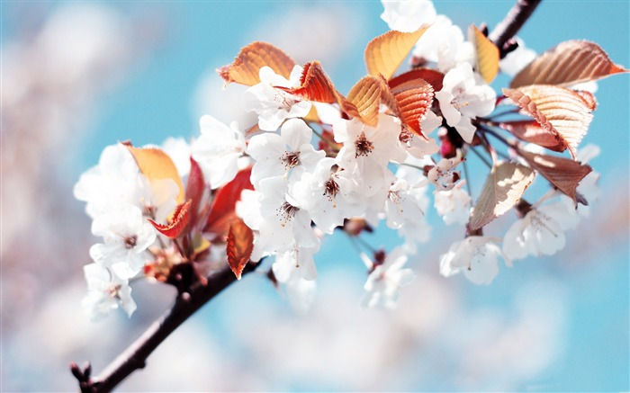 Beautiful Japanese cherry blossom season wallpaper 02 Views:7785