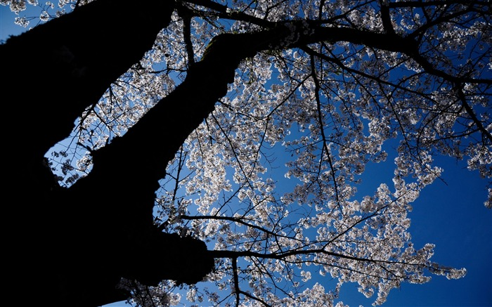 Beautiful Japanese cherry blossom season wallpaper 03 Views:5903