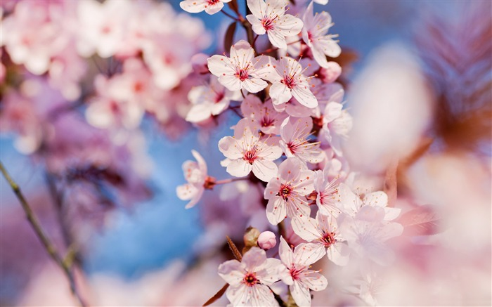Beautiful Japanese cherry blossom season wallpaper 04 Views:13791