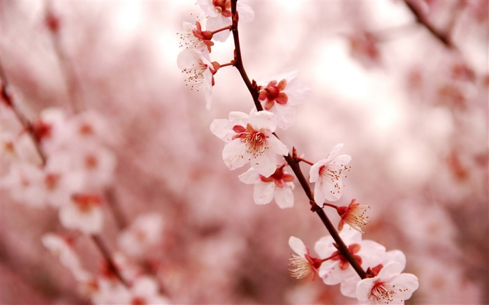 Beautiful Japanese cherry blossom season wallpaper 05 Views:10073