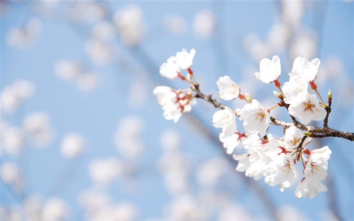 Beautiful Japanese cherry blossom season wallpaper 06 Views:12200