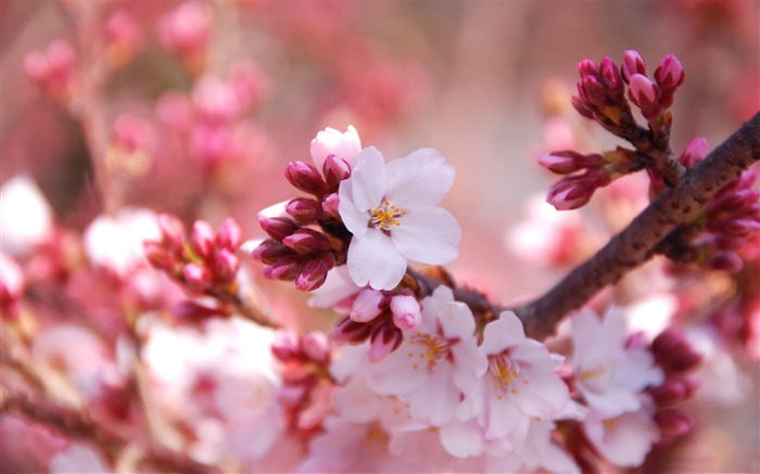 Beautiful Japanese cherry blossom season wallpaper 07 Views:5871