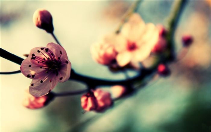 Beautiful Japanese cherry blossom season wallpaper 08 Views:7671