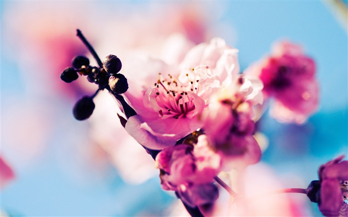 Beautiful Japanese cherry blossom season wallpaper 09 Views:10599