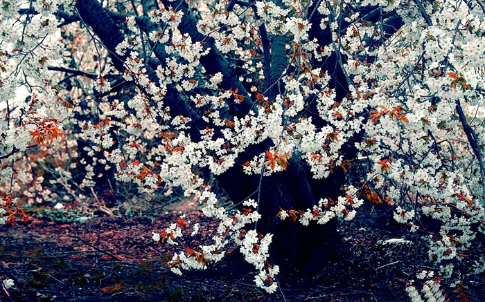 Beautiful Japanese cherry blossom season wallpaper 14 Views:5145