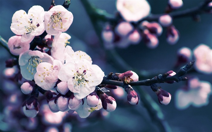Beautiful Japanese cherry blossom season wallpaper 15 Views:6941