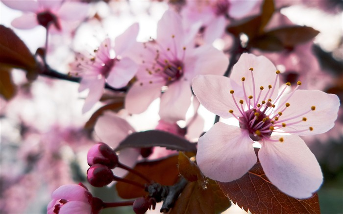 Beautiful Japanese cherry blossom season wallpaper 16 Views:5656
