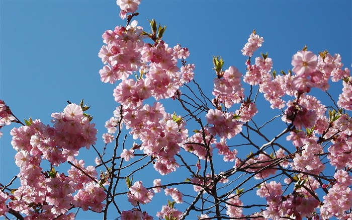 Beautiful Japanese cherry blossom season wallpaper 18 Views:6105