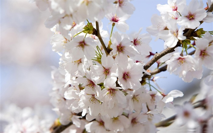 Beautiful Japanese cherry blossom season wallpaper 19 Views:3554