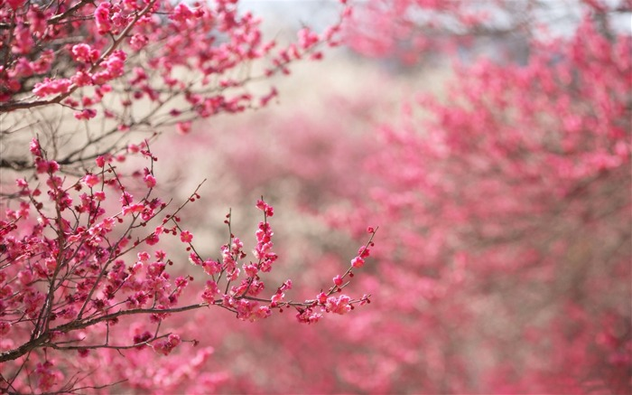 Beautiful Japanese cherry blossom season wallpaper 21 Views:5322