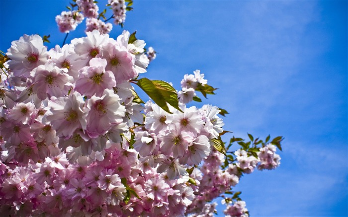 Beautiful Japanese cherry blossom season wallpaper 22 Views:4696