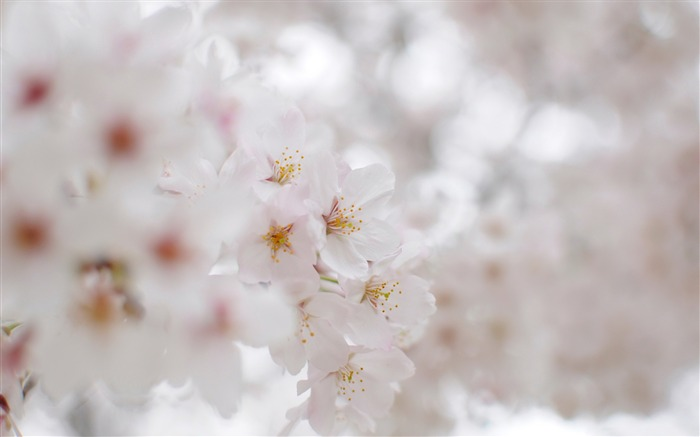 Beautiful Japanese cherry blossom season wallpaper 23 Views:3944