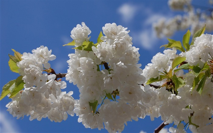 Beautiful Japanese cherry blossom season wallpaper 24 Views:3675