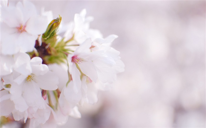 Beautiful Japanese cherry blossom season wallpaper 25 Views:3896