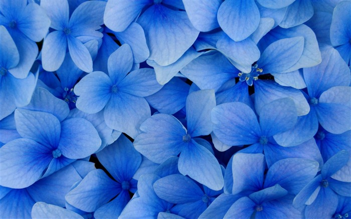 blue hydrangea blossoms-flowers photography wallpaper Views:8889