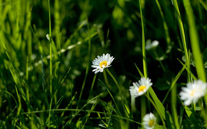 daisies and green grass-flowers photography wallpaper Views:5436