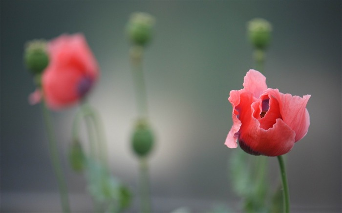 poppy-flowers photography wallpaper Views:5565