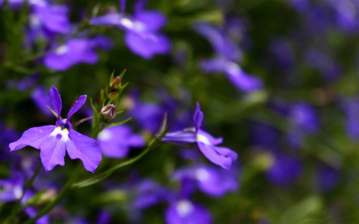 purple flowers close up-flowers photography wallpaper Views:4684