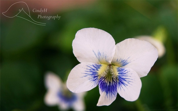 white violets-flowers photography wallpaper Views:3920