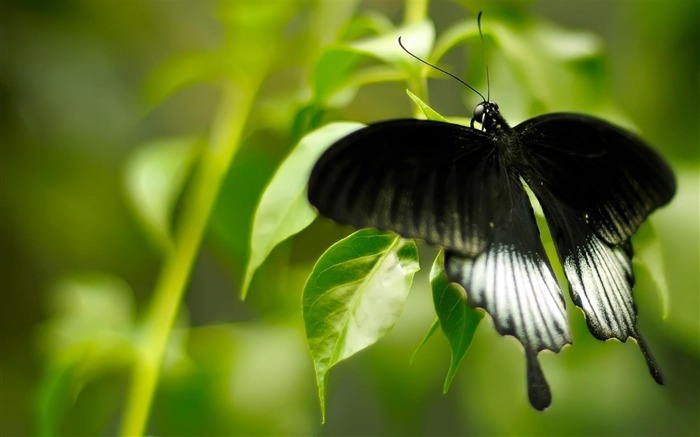 Black And White Butterfly-Animal photography HD wallpaper Views:11645