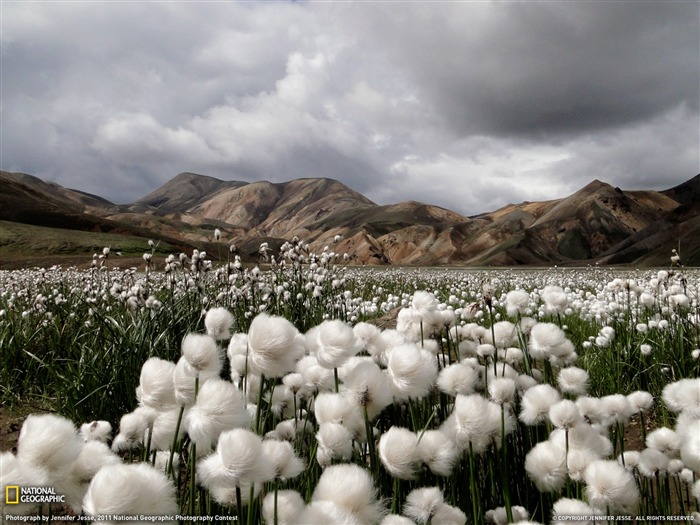 Cotton Grass Iceland-National Geographic 2011 Best Wallpapers Views:6837