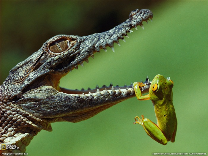 Frog and Crocodile South Africa-National Geographic 2011 Best Wallpapers Views:8251