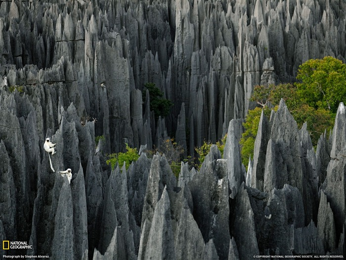 Lemurs Madagascar-National Geographic 2011 Best Wallpapers Views:4083