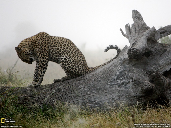 Leopard South Africa-National Geographic 2011 Best Wallpapers Views:9040