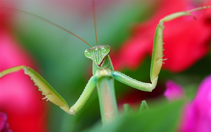 Mantis-Animal photography wallpaper Views:4447