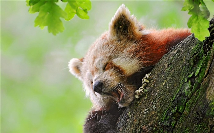 Red panda-Animal photography wallpaper Views:5351