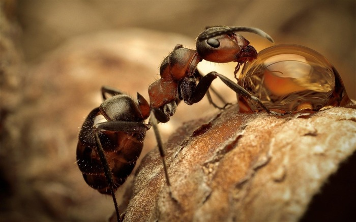 ant-Animal photography wallpaper Views:6053