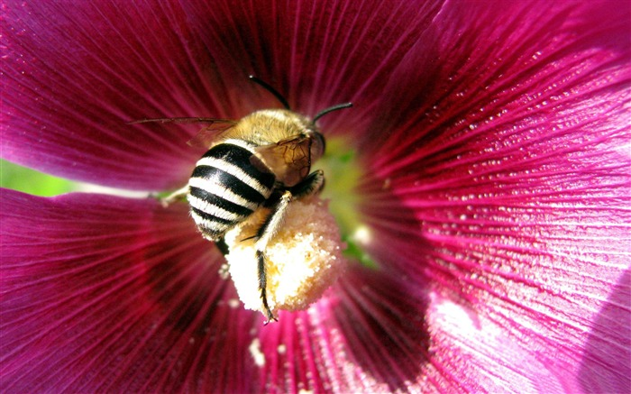 bee-all kinds of insects wallpaper Views:5588