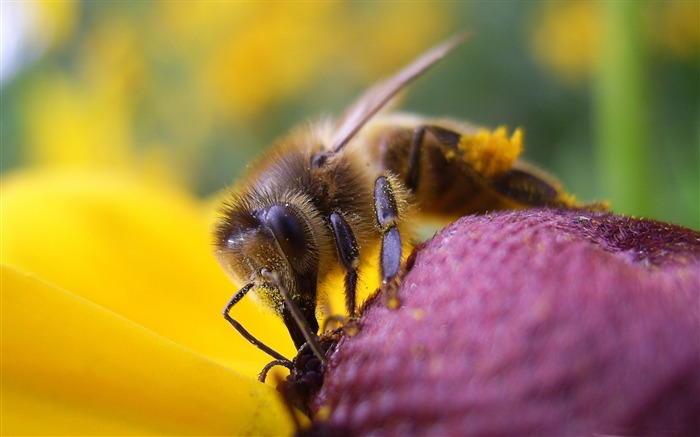 bee and flower-all kinds of insects wallpaper Views:4664
