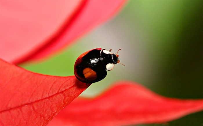 black beetles with red spots-all kinds of insects wallpaper Views:6057