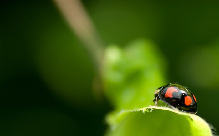black ladybug macro-all kinds of insects wallpaper Views:4350