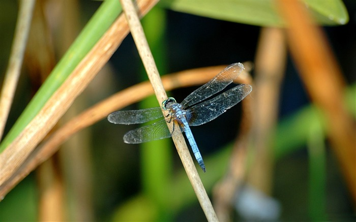 blue dragonfly-all kinds of insects wallpaper Views:4766