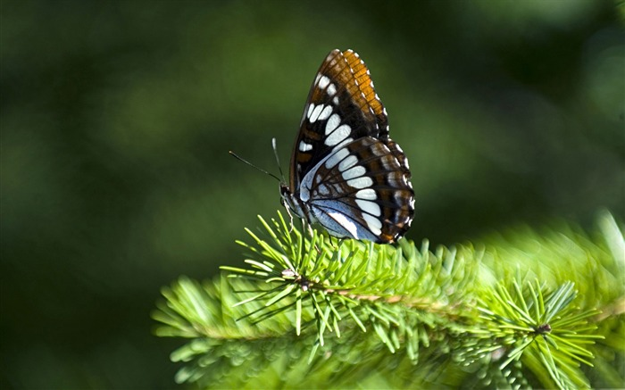 butterfly on fir branch-all kinds of insects wallpaper Views:4258