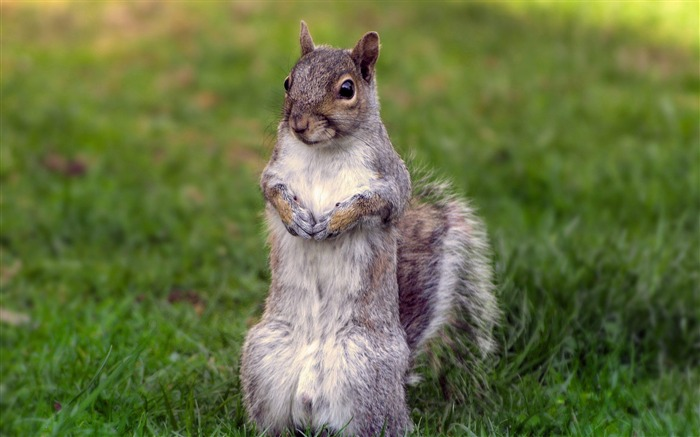 curious squirrel-Animal photography wallpaper Views:5282