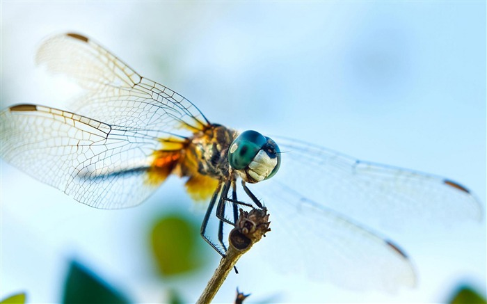 dragonfly-Animal photography HD wallpaper Views:4836