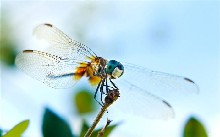 dragonfly-all kinds of insects wallpaper Views:5286
