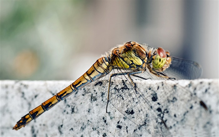 dragonfly macro-all kinds of insects wallpaper Views:5230