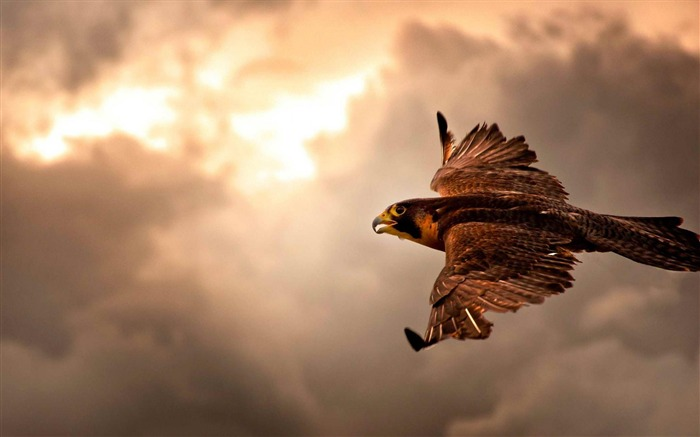 falcon in flight-Animal photography HD wallpaper Views:9802