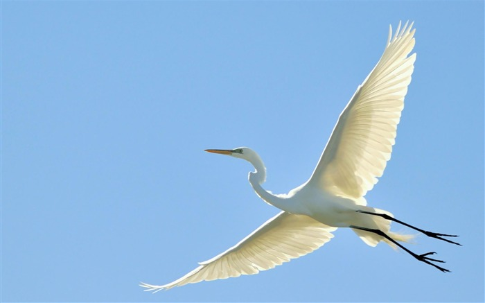 flying great egret-Bird photography wallpaper Views:5234