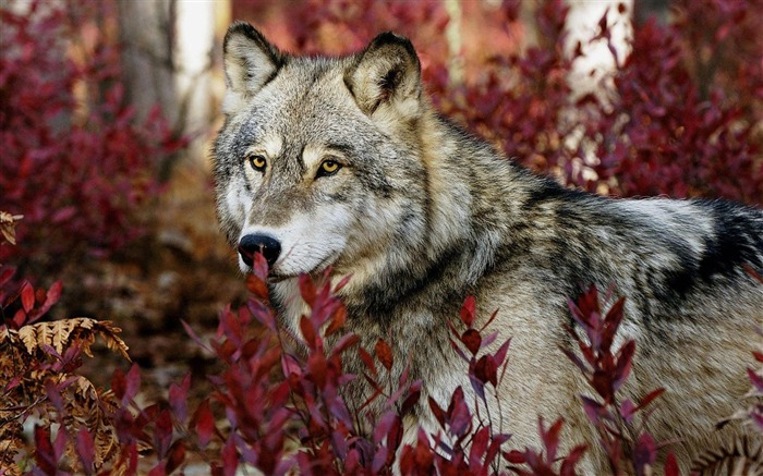 forest wolf-Animal photography HD wallpaper Views:46165
