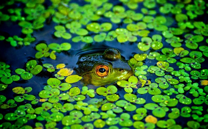 frogs-Animal photography wallpaper Views:4060