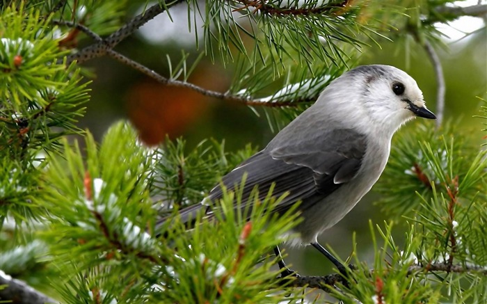 gray jay-Bird photography wallpaper Views:6403
