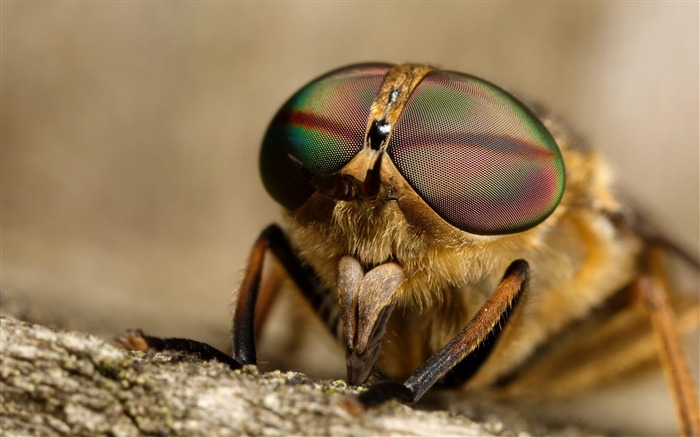 horse fly biting-Animal photography wallpaper Views:5323