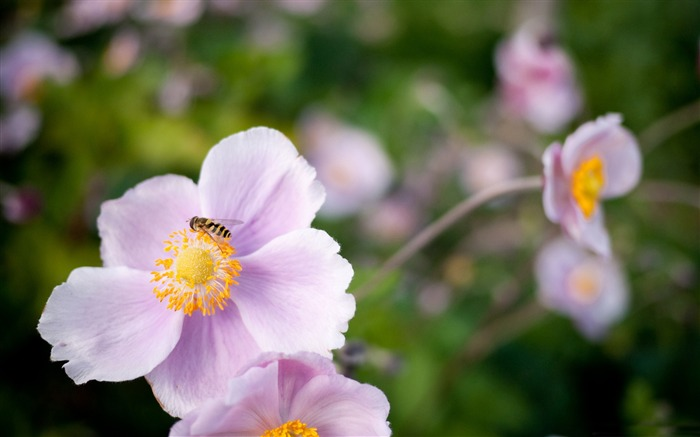 hoverfly on a pink flower-all kinds of insects wallpaper Views:4666