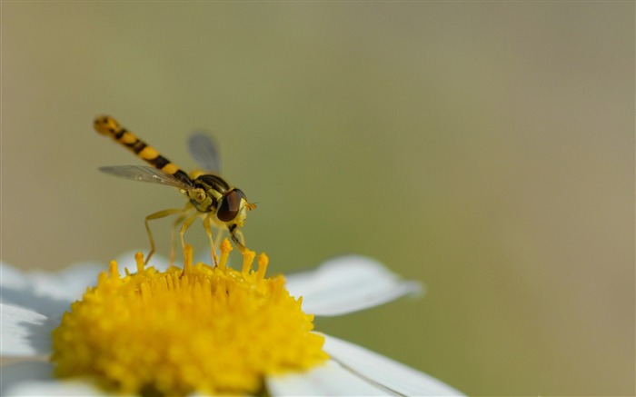 hoverfly sphaerophoria scripta-all kinds of insects wallpaper Views:4389