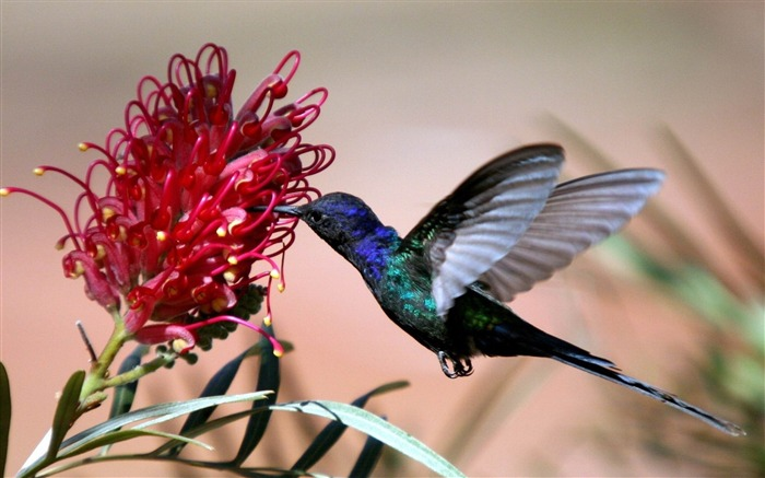 hummingbird-Bird photography wallpaper Views:8935